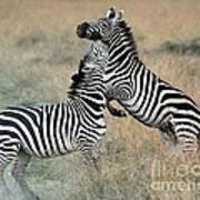 Zebras Fighting Poster by Alan Clifford