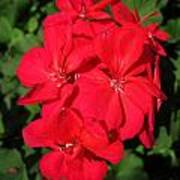 Zonal Geranium Named Candy Cherry Poster