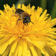 A Bee In A Dandelion Poster