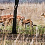 Antidorcas Marsupialis Poster