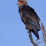 Bataleur Eagle Viewpoint Poster