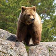 Brown Bear 4 Poster