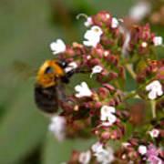 Cuckoo Bumblebee Poster