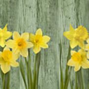 Fresh Spring Daffodils Poster