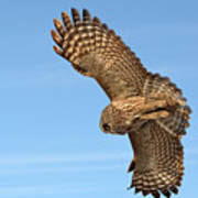 Great Gray Owl Plumage Patterns In-flight Poster