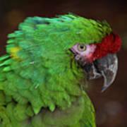 Great Green Macaw Ara Ambiguus Poster