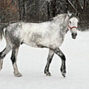 Light  Grey Horse Goes On A Winter Glade  Poster