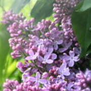 Lilacs On A Misty Morning Poster