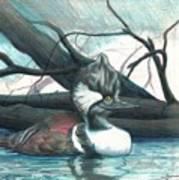 Merganser Duck Poster