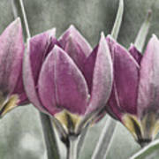 Miniature May Tulips Txt Poster
