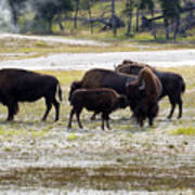 North American Female Buffalo And Her Offspring Showing Affecti Poster