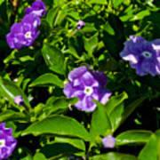 Purple Flowers In Pilgrim Place In Claremont-california Poster