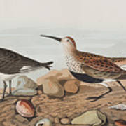 Red Backed Sandpiper Poster