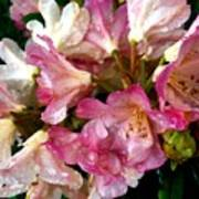 Rhododendron In Pink  Poster