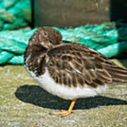 Sleepy Turnstone At Padstow Harbour Poster