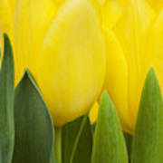 Spring Yellow Tulips Poster