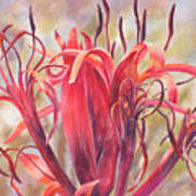 Tendrils Gymea Lily   Poster