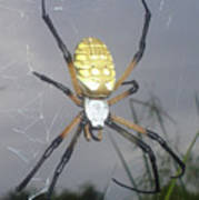 Texas Garden Spider Poster