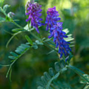 Tufted Vetch Poster
