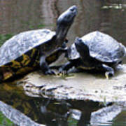 Turtles Sunning And Holding Hands Poster