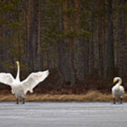 Whooper Swans 2 Poster