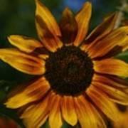 Yellow Sun Flower Poster