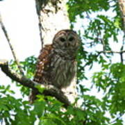 0298-001 - Barred Owl Poster