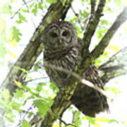 0304-002 - Barred Owl Poster