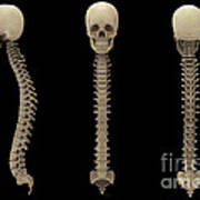 3d Rendering Of Human Vertebral Column Poster