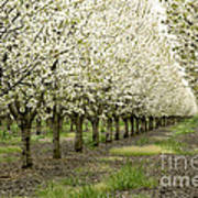 A Flowering Cherry Orchard Poster