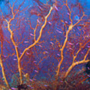 A Red Sea Fan With Purple Anthias Fish Poster