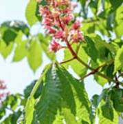 Aesculus X Carnea, Or Red Horse-chestnut Flower Poster