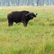 African Buffalo Poster