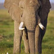 African Elephant Loxodonta Africana Poster by Gerry Ellis