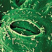 Agrobacterium Tumefaciens Poster
