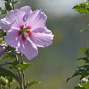 Althea Rose Of Sharon Hibiscus Bloom Poster
