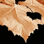 American Sycamore Leaf And Leaf Shadow Poster