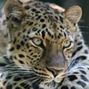 Amur Leopard #2 Poster