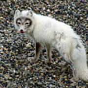 Arctic Fox Poster