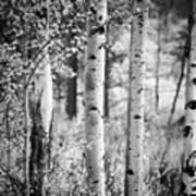 Aspen Trees In Black And White Poster