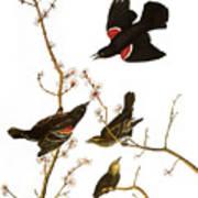 Audubon: Blackbird, (1827) Poster