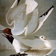 Audubon: Gull Poster