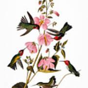 Audubon: Hummingbird Poster