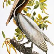 Audubon: Pelican Poster