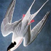 Audubon: Tern Poster