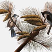 Audubon: Titmouse Poster