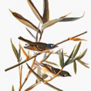 Audubon: Vireo Poster