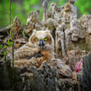 Baby Great Horned Owl Poster