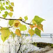 Backlit Poplar Leaves Poster