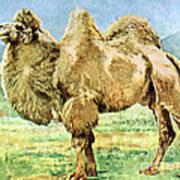 Bactrian Camel, Endangered Species Poster